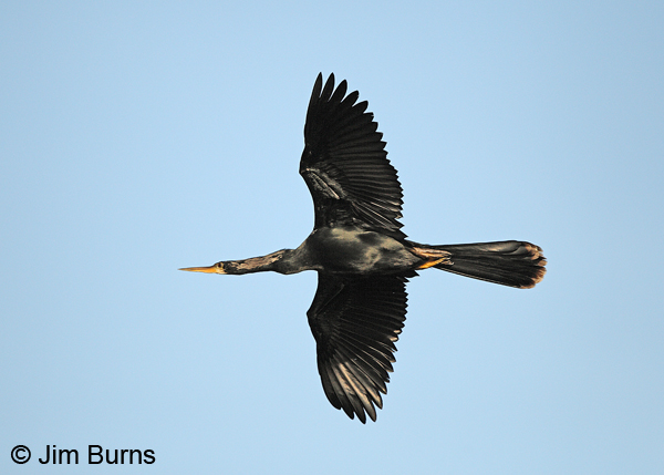 Anhinga male in flight dorsal view
