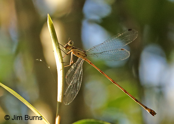 Antillean Spreadwing teneral female, Lee Co., FL, December 2016