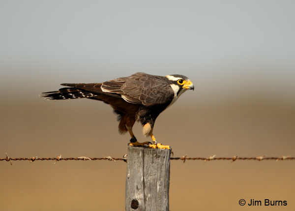 Aplomado Falcon adult on fence post