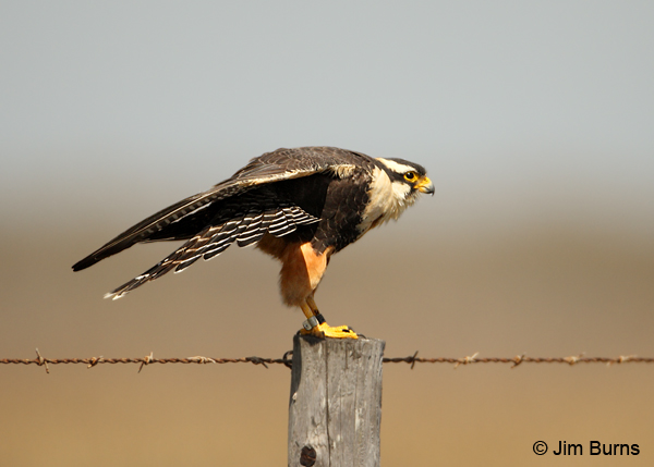 Aplomado Falcon adult showing banded tail