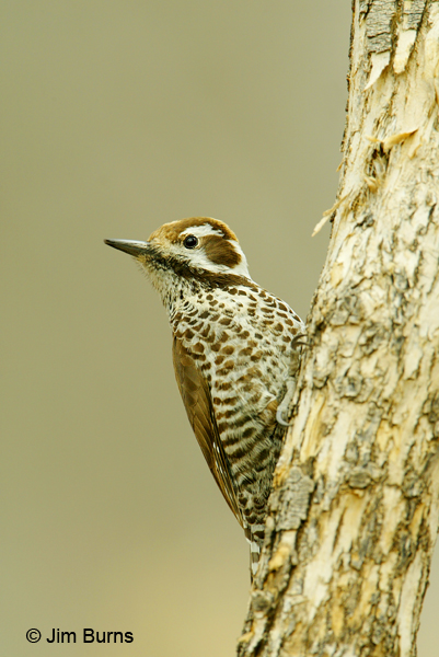 Arizona Woodpecker female