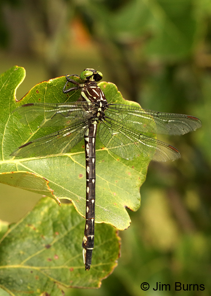 Arrow Clubtail female, Kankakee Co., IL, September 2017