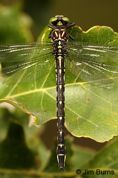 Arrow Clubtail female dorsal view, Kankakee Co., IL, September 2017