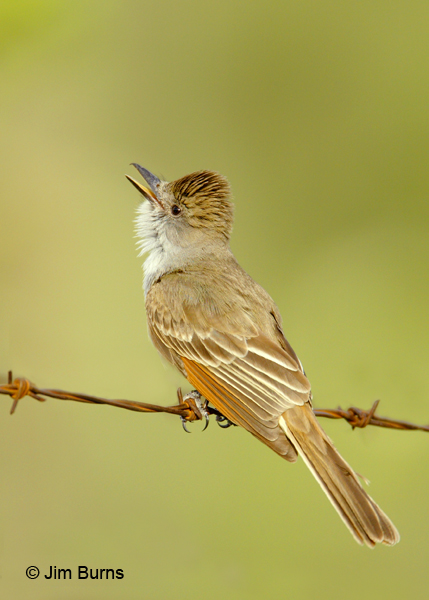 Ash-throated Flycatcher calling