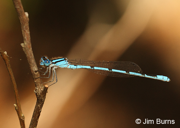Atlantic Bluet male #2, Horry Co., SC, May 2014