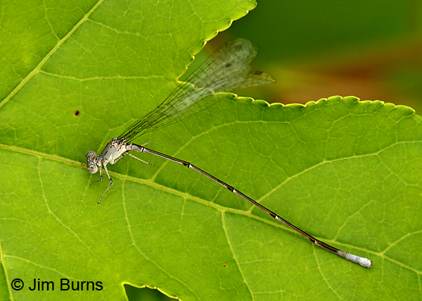 Attenuated Bluet male, Montgomery Co., AR, May 2015