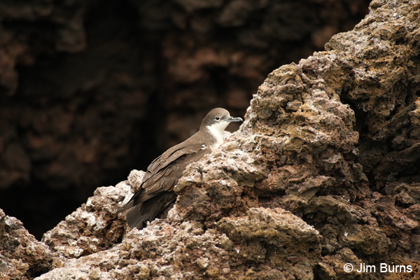 Audubon's Shearwater on rocks