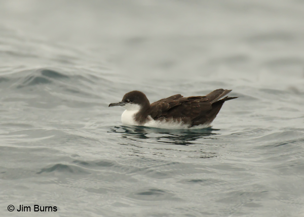 Audubon's Shearwater on water