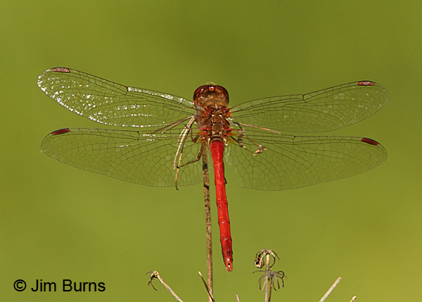 Autumn Meadowhawk male, Washington Co., MN, September 2016