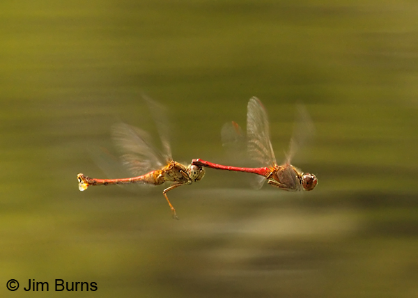 Autumn Meadowhawk pair flying tandem, female ovipositing, Franklin Co., PA, September 2012