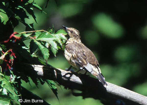 Aztec Thrush female
