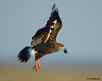 Snail Kite female carrying Apple Snail