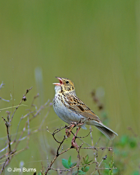 Baird's Sparrow singing