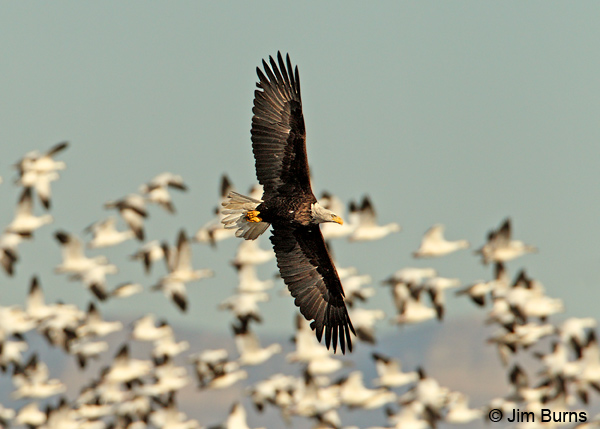 Bald Eagle adult harassing Snow Geese