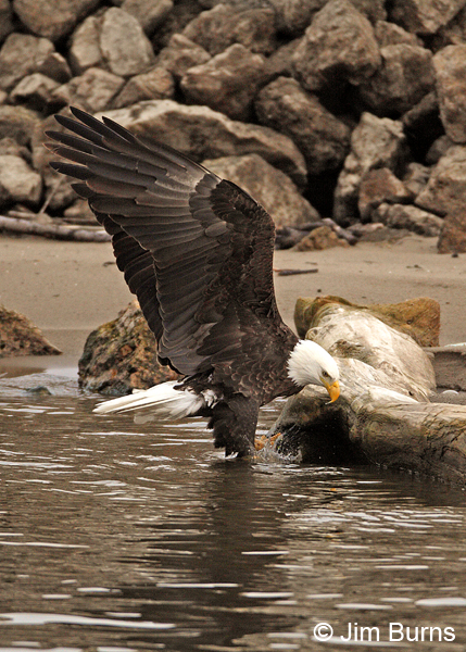 Bald Eagle adult in water