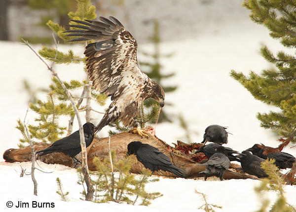 Bald Eagle and Common Ravens on Elk kill