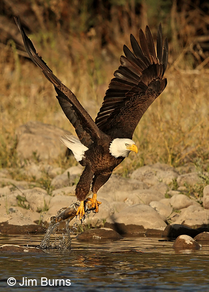 Bald Eagle taking fish from river