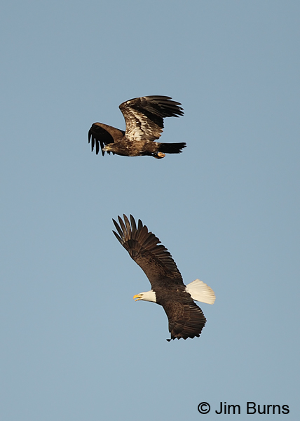 Bald Eagles dogfight