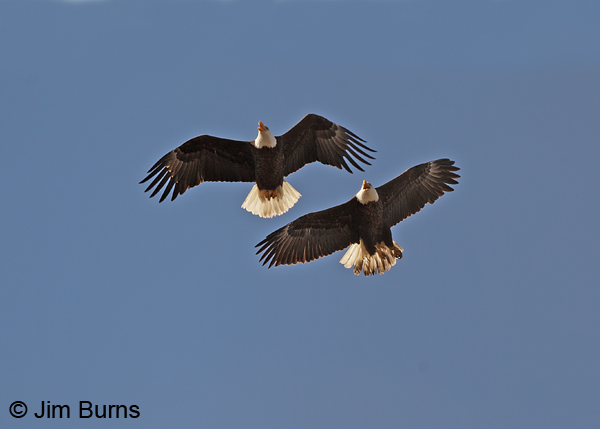 Bald Eagles mated pair