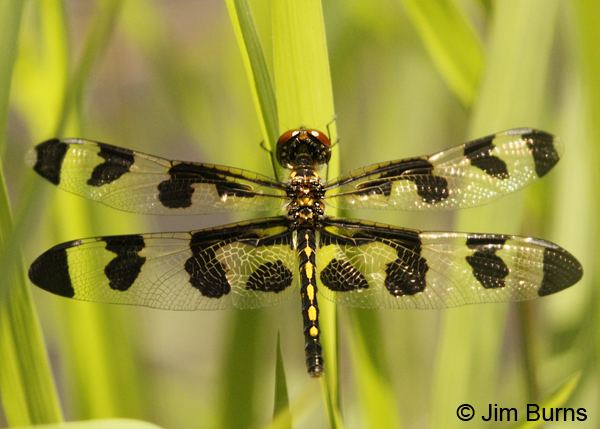 Banded Pennant female, Montgomery Co., AR, May 2013