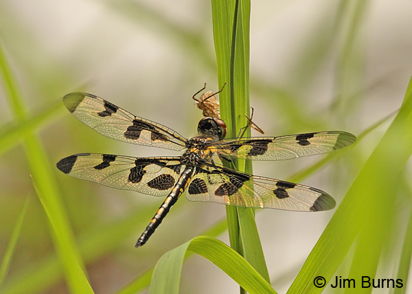 Banded Pennant teneral female near exuvia, Montgomery Co., AR, May 2013