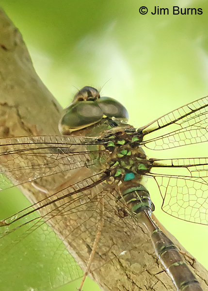 Bar-sided Darner male top shot, Cameron Co., TX, October 2014
