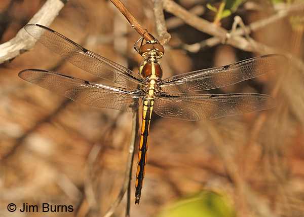 Bar-winged Skimmer immature male dorsal view, Horry Co., SC, May 2014