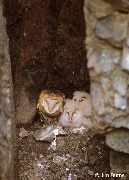 Barn Owl family in mine shaft