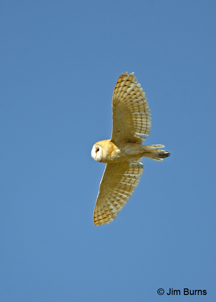 Barn Owl female in flight