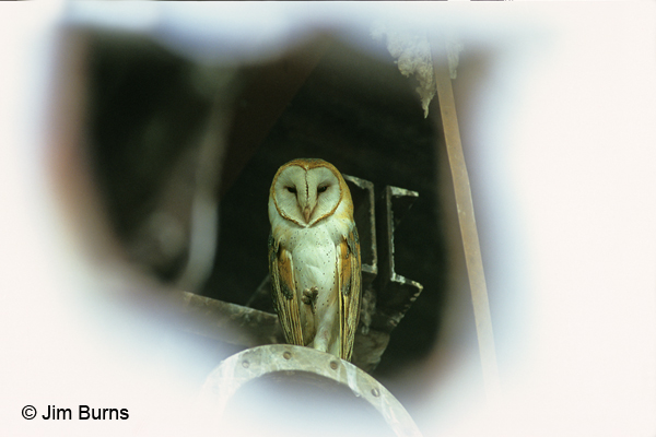Barn Owl in cotton gin