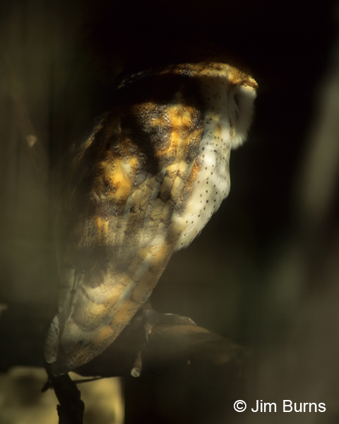Barn Owl in shadows