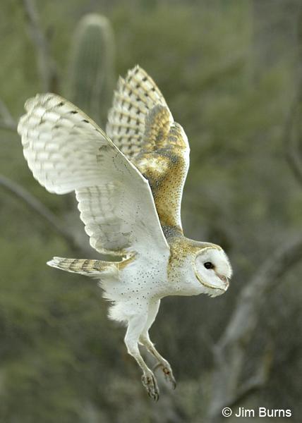 Barn Owl Taking Off Barn Owl landing