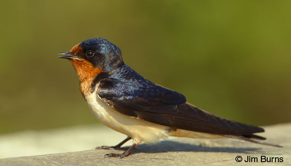 Female Barn Swallow - Kamasutra Porn Videos