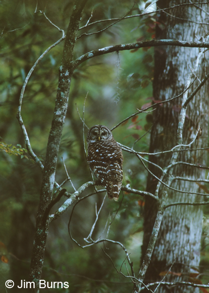Barred Owl, black water