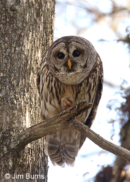 Barred Owl curious