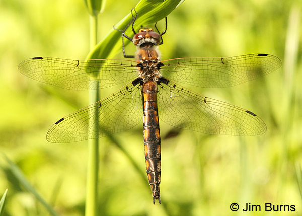 Beaverpond Baskettail female dorsal view, Eau Claire Co., WI, June 2014