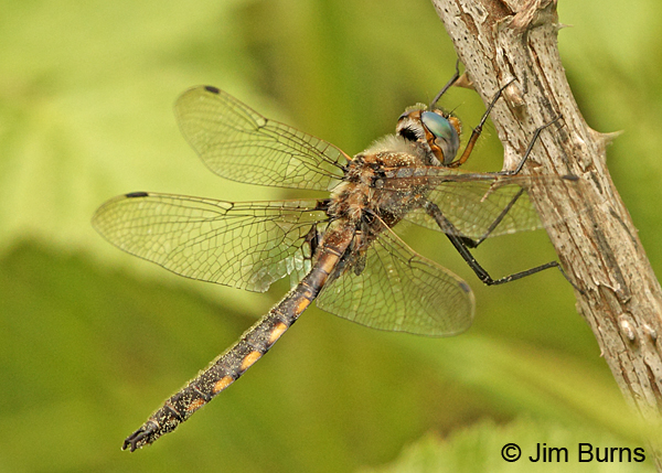 Beaverpond Baskettail male showing dog's head shape of upper appendages, Eau Claire Co., WI, June 2014