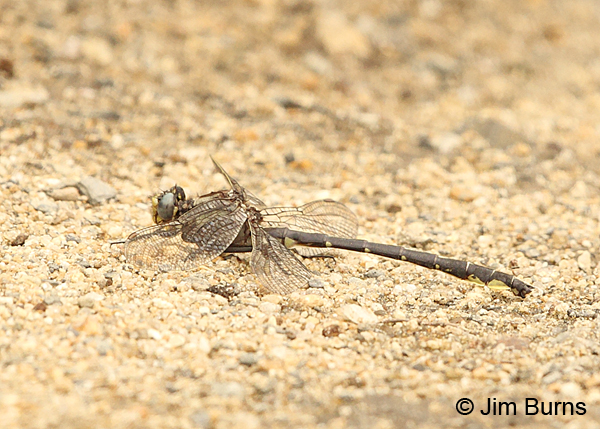 Beaverpond Clubtail male on gravel, Essex Co., VT, July 2014