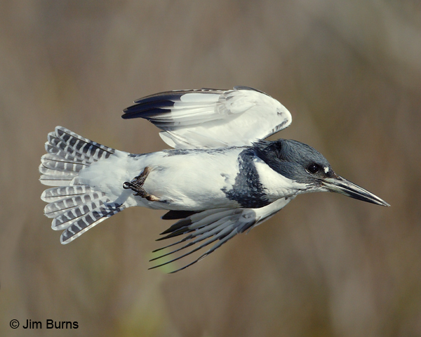 Belted Kingfisher male in flight