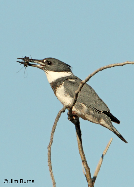 Belted Kingfisher male with Crayfish
