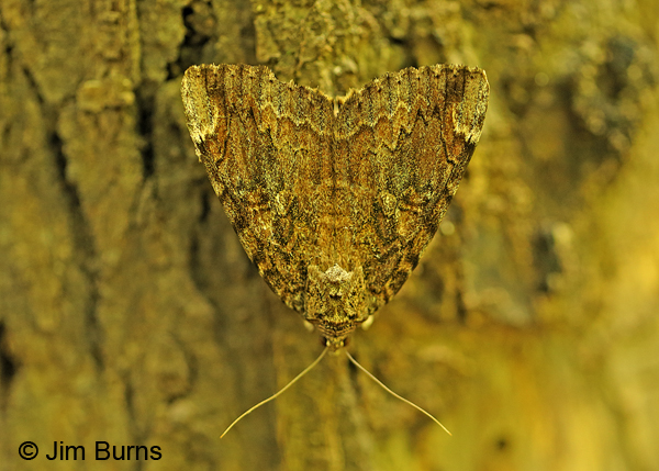 Betrothed Underwing Moth, Oklahoma