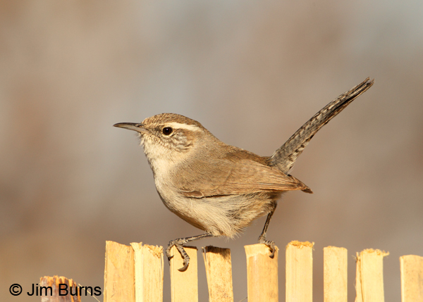 Bewick's Wren on fence