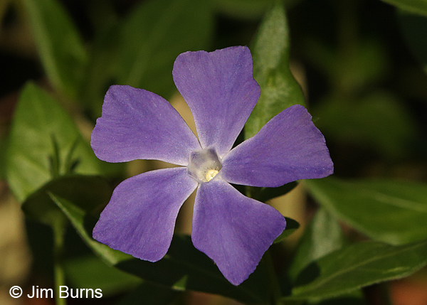 Big Periwinkle, Arizona