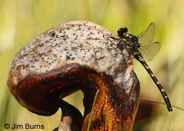 Black Petaltail male on dried Pitcher Plant, Josephine Co., OR, June 2013