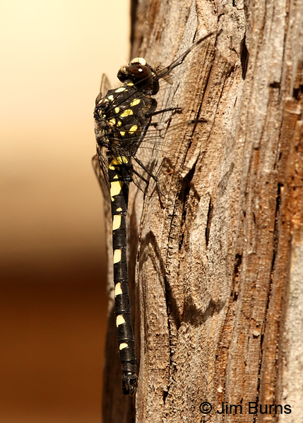 Black Petaltail male on tree in sun, Deschutes Co., OR, July 2013