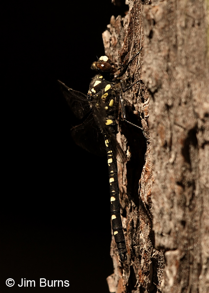 Black Petaltail male on tree in shade, Deschutes Co., OR, July 2013
