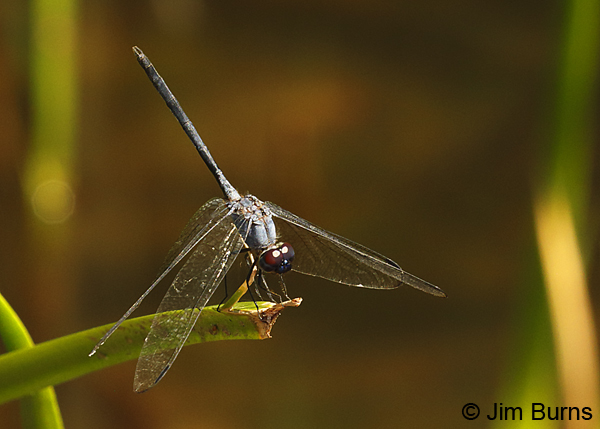 Black Setwing male, Maricopa Co., AZ, August 2018--8119