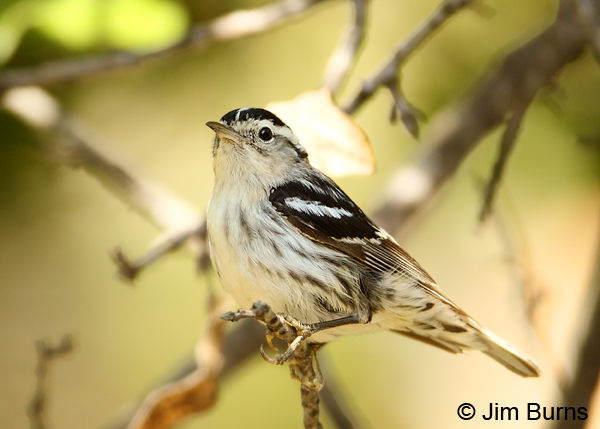 Black-and-white Warbler female in oak