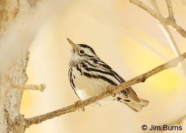 Black-and-white Warbler male in cottonwood