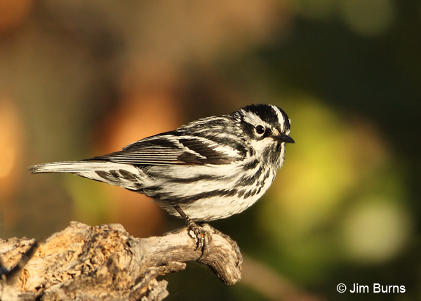 Black-and-white Warbler male on snag